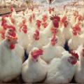 Не надо о птичках: бизнесмены, «возрождающие» Татищевскую птицефабрику, оказались фейковыми инвесторами