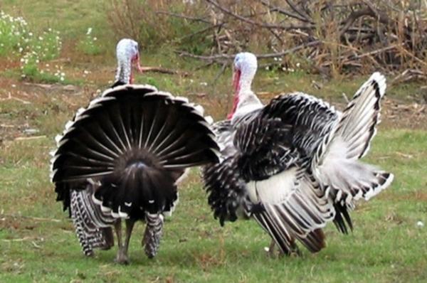 Перелетная индейка: в Саратовской области выставлен на продажу крупный птицеводческий проект