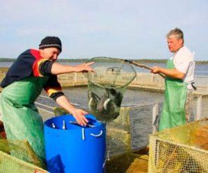 Ловись, рыбка, большая и маленькая: в Саратовском рыбопитомнике долгов вылавливают больше, чем основного продукта