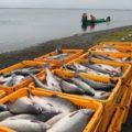 Внезапная смерть депутата Воробьева может перевернуть рыболовную отрасль в России